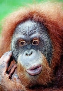Orangutan Negative Transferred to Digital Tif file