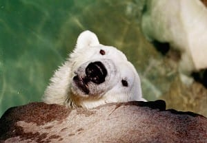 Polar Bear Photo Negative Digital Transfer