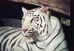 White Bengal Tiger Digital Transfer from Negative